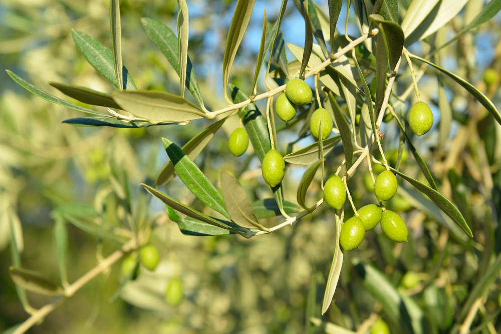 El aceite del olivo directamente a tu mesa
